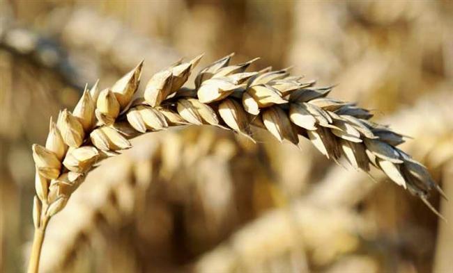 Украина соберет практически рекордный урожай