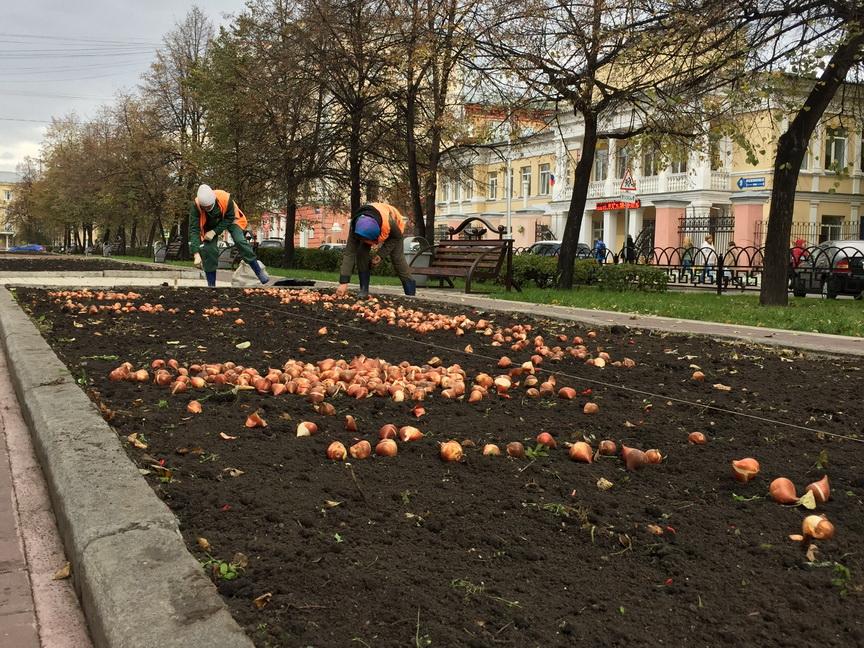 Луковицы тюльпанов перезимуют вклумбах столицы