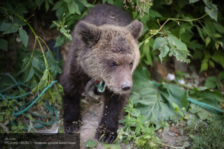 ВСыктывкаре медведь напал надрессировщика вовремя выступления