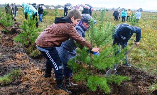 900 сосен посадили в честь годовщины Великого стояния на Угре