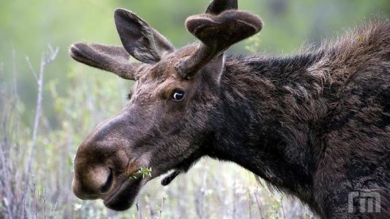 ВЯрославской области москвич попал под следствие заотстрел лося