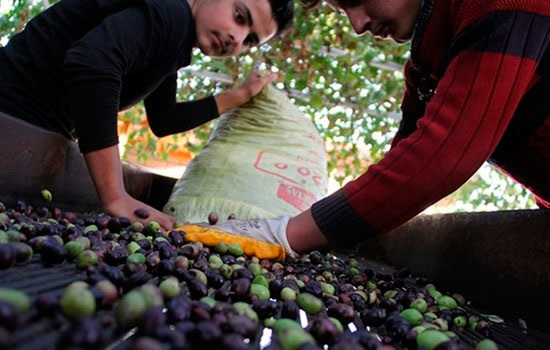 Где купить высококлассное оливковое масло в Турции?