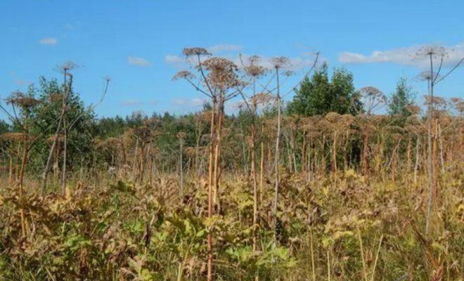 Сельхозкооператив выращивает сорняки на 380 га сельхозугодий