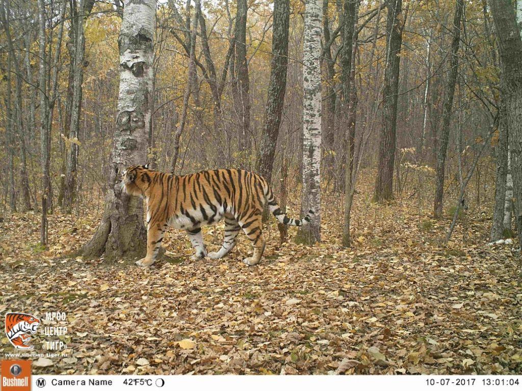 Увыпущенных наволю вЕАО хищников родились трое тигрят