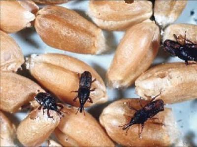 В подсобном хозяйстве обнаружили 1200 тонн заражённого зерна